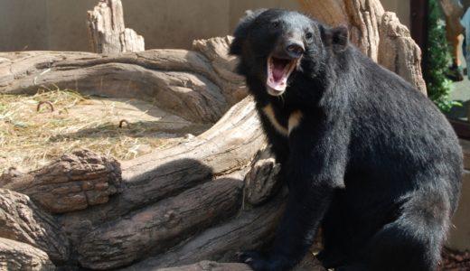 富山県に出没する熊ってどんな熊?種類や特徴、出没時期などを簡単解説!【3分で誰でも分かる】